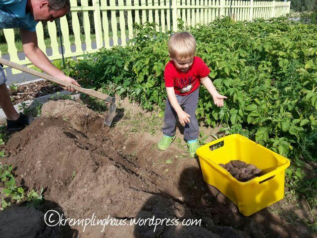 Kartoffelernte Garten Kind hilft
